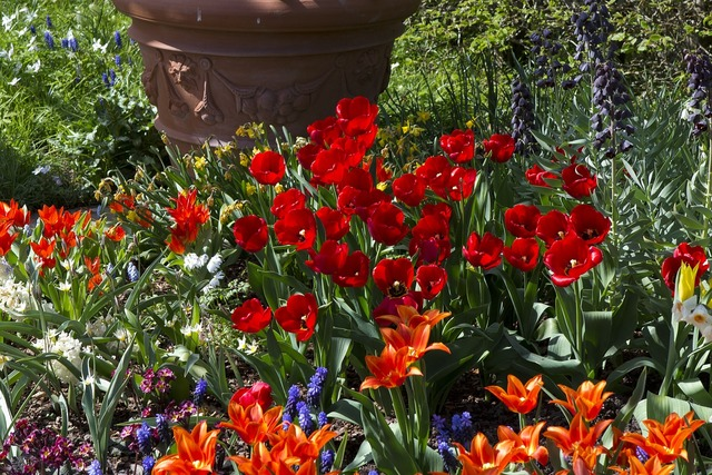 Spring flowers tulips red.