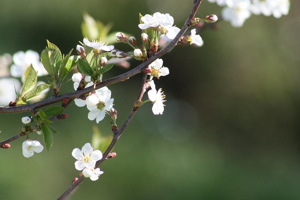 Spring white bloom, nature landscapes.