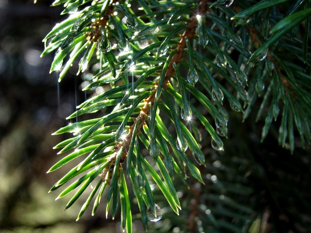 Spruce needle branch, nature landscapes.