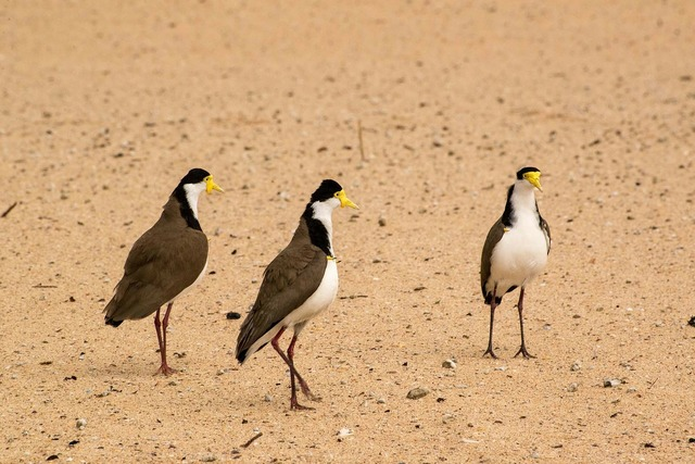 Spur-winged plover birds maroubra, travel vacation.