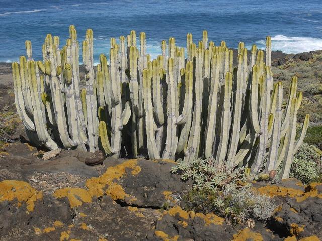 Spurge family tenerife cactus, nature landscapes.