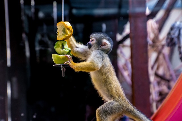 Squirrel monkey monkey äffchen, animals.