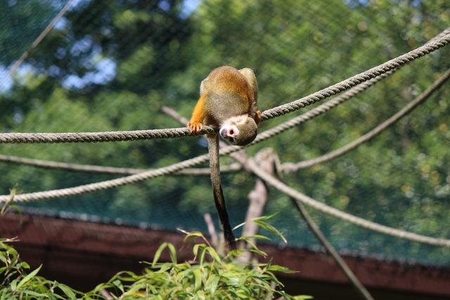 Squirrel monkey monkey capuchin-like.