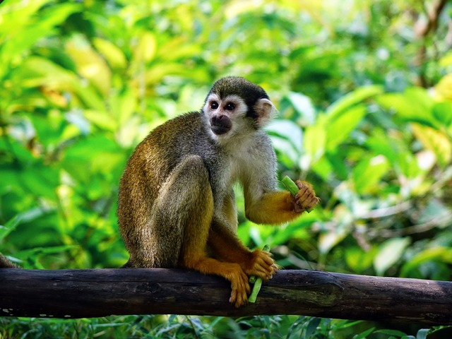 Squirrel monkey monkey climb, nature landscapes.