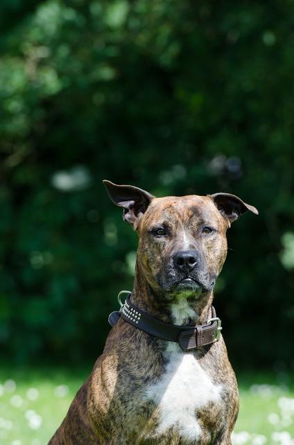 Stafford american staffordshire terrier terrier.