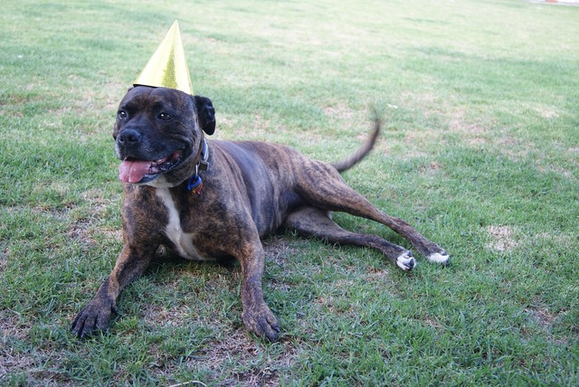 Staffy dog birthday, animals.