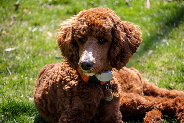 Standard poodle puppy brown dog.