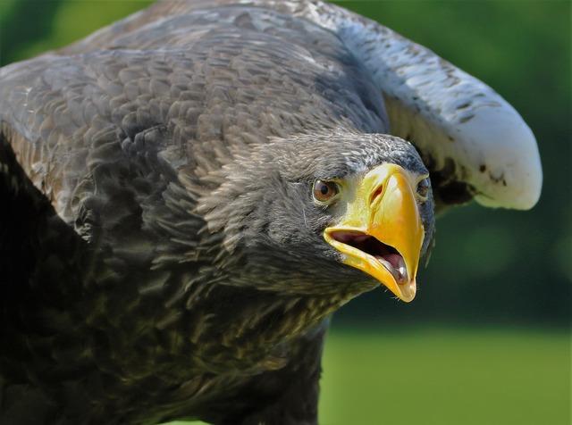 Stellar sea eagle eagle sea, animals.