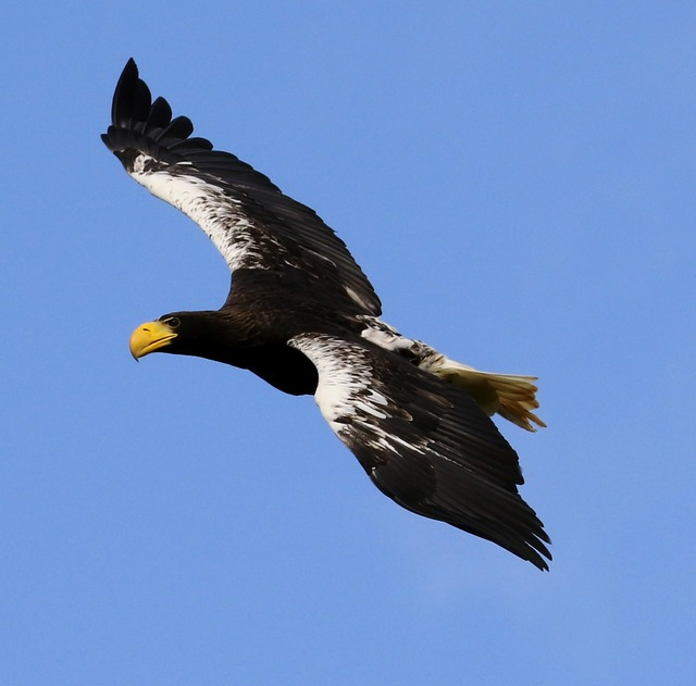 Stellar sea eagle sea bird sea, animals.
