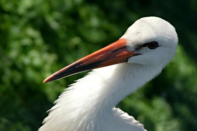 Stork feather bird, animals.