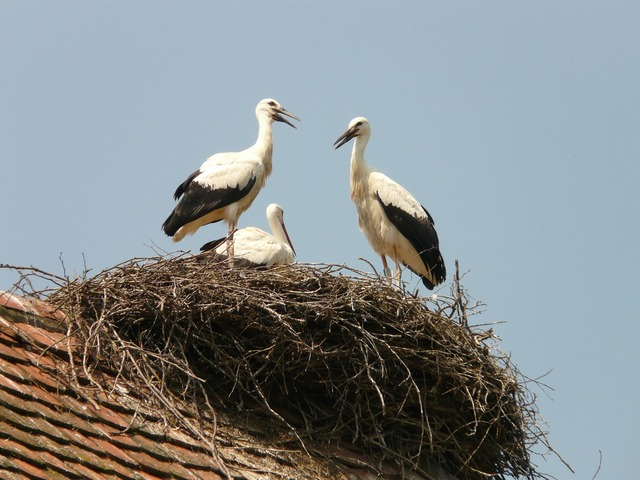 Stork storchennest bird, animals.
