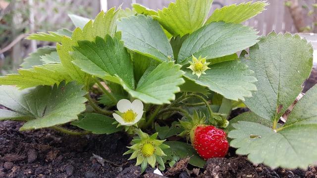 Strawberry flower red.