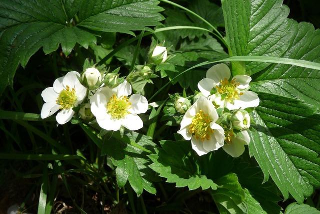 Strawberry flowers strawberry blossom.