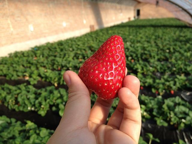 Strawberry green house farm, food drink.