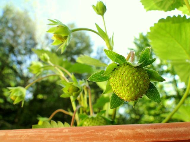 Strawberry plant green, nature landscapes.