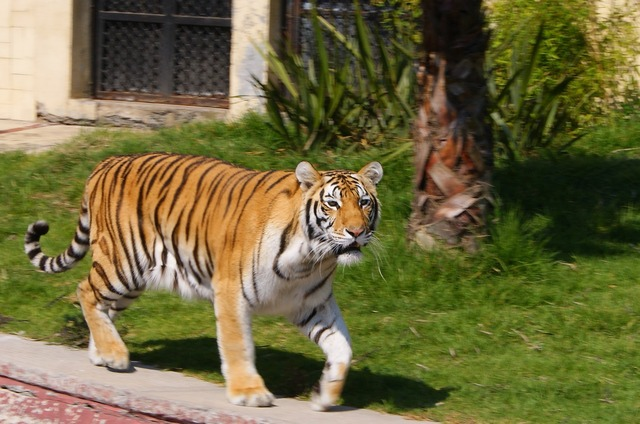Stripes cat tiger, animals.
