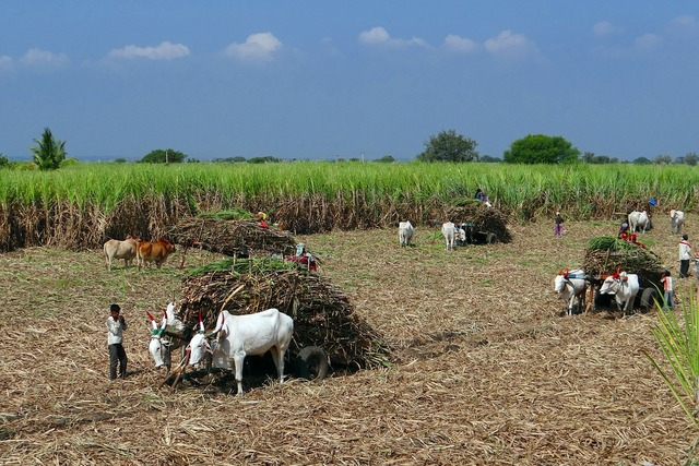 Sugarcane field harvest.