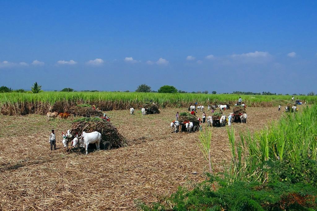Sugarcane harvest bullock cart.