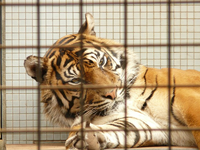 Sumatran tiger tiger cage, animals.