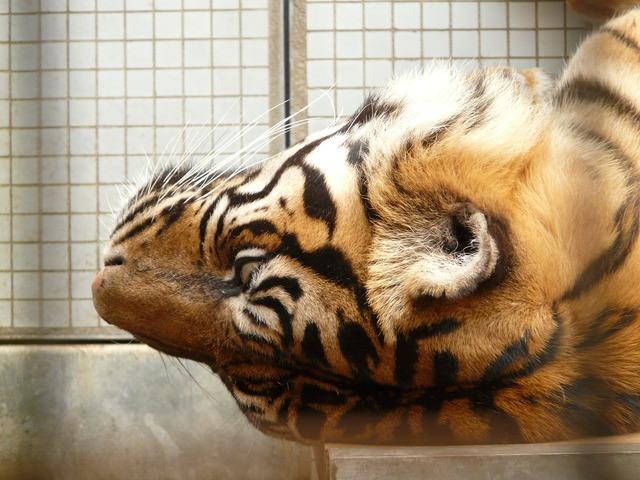 Sumatran tiger tiger cat, animals.