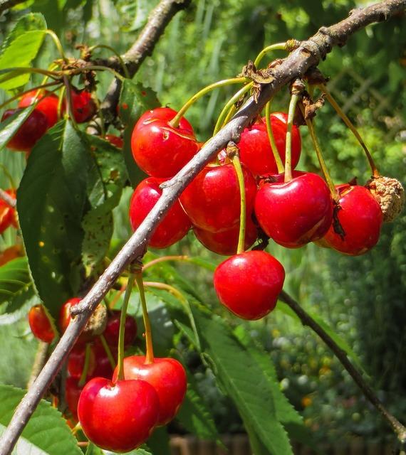 Summer cherries red, food drink.