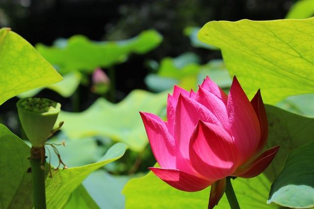 Summer lotus plant, nature landscapes.
