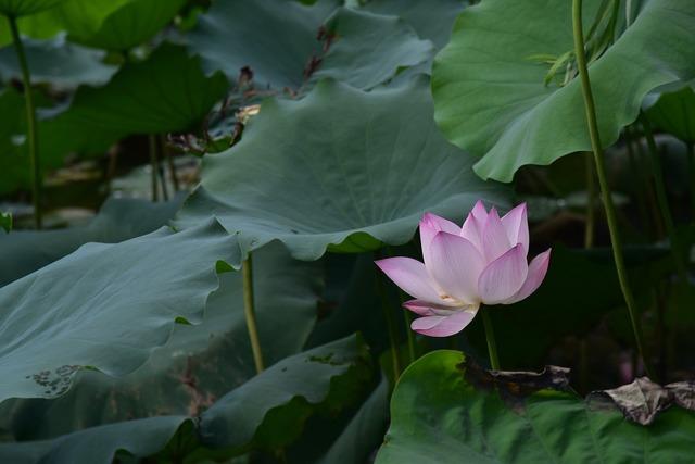 Summer lotus xiahe.