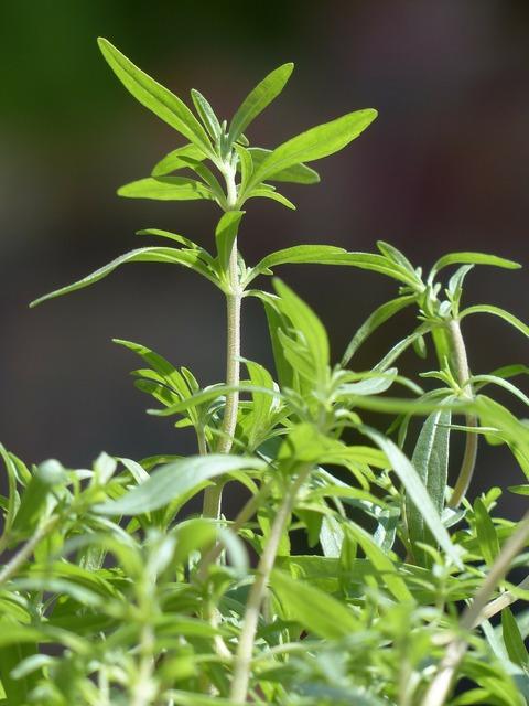 Summer savory kitchen herb herb, nature landscapes.