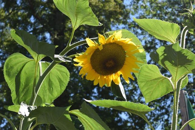 Sun flower august summer.