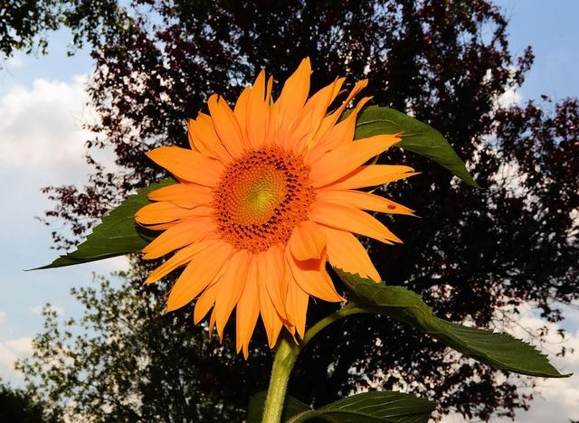 Sun flower blossom bloom.