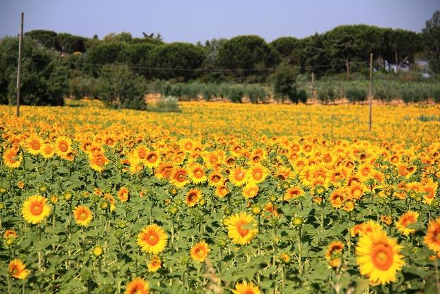 Sun flower field summer.