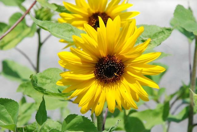 Sun flower flower yellow, nature landscapes.