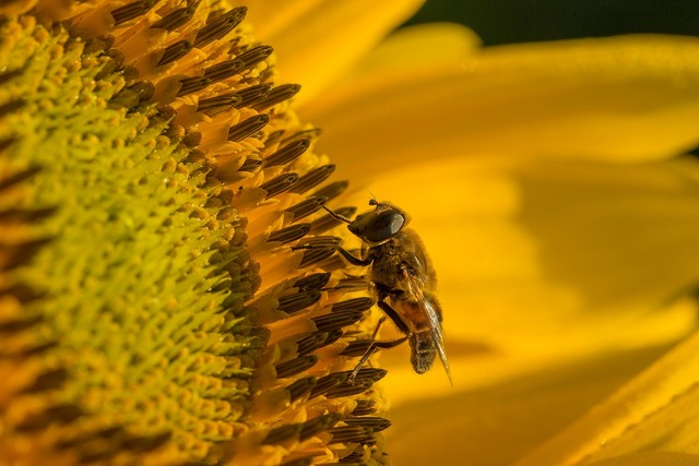 Sun flower hoverfly blossom.