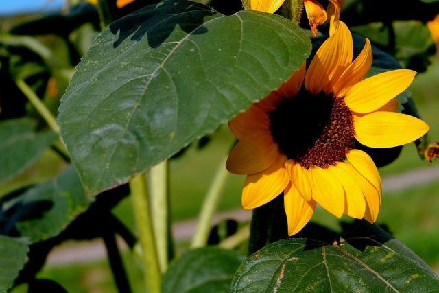 Sun flower leaves light.