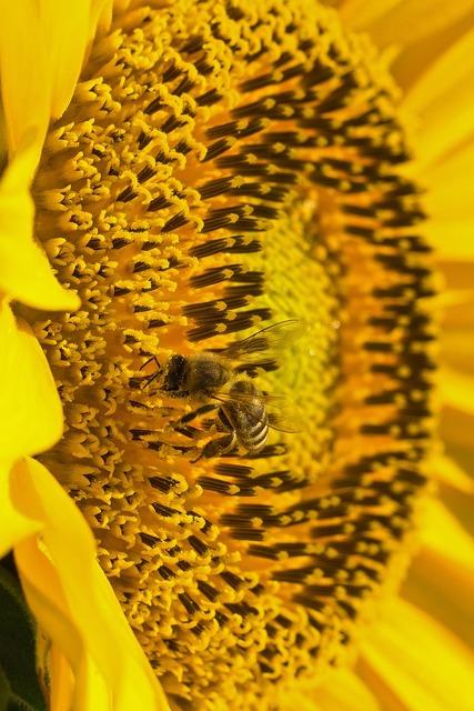 Sun flower pollen bee, animals.