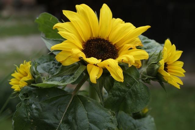 Sun flower summer garden.