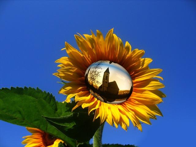 Sun flower yellow flower, religion.