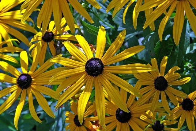 Sun hat shrub yellow coneflower, nature landscapes.