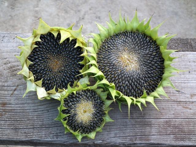 Sunflower autumn seeds, food drink.