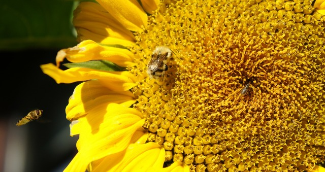 Sunflower bees insects.