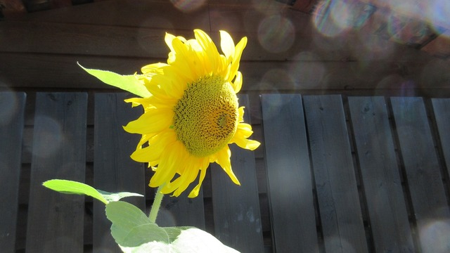 Sunflower bokeh sunlight.