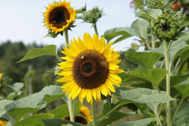 Sunflower cottage garden flowers.
