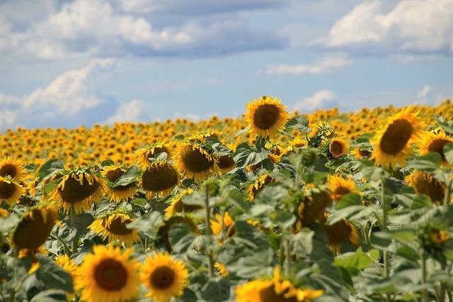 Sunflower field summer.