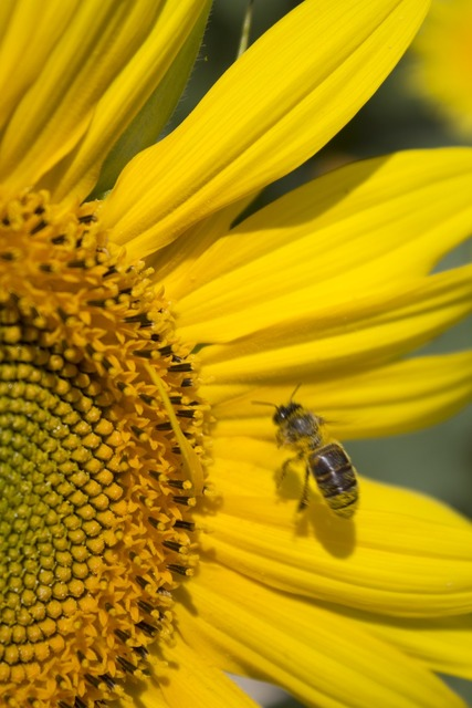 Sunflower summer honey bee.