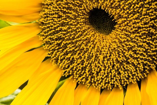 Sunflower sunflower seeds plants.