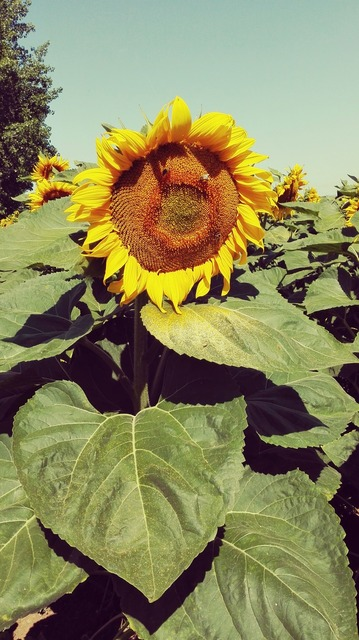Sunflower yellow plant, nature landscapes.