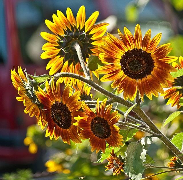Sunflowers a few flowers plant, nature landscapes.