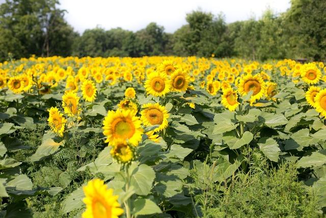 Sunflowers field flowers.