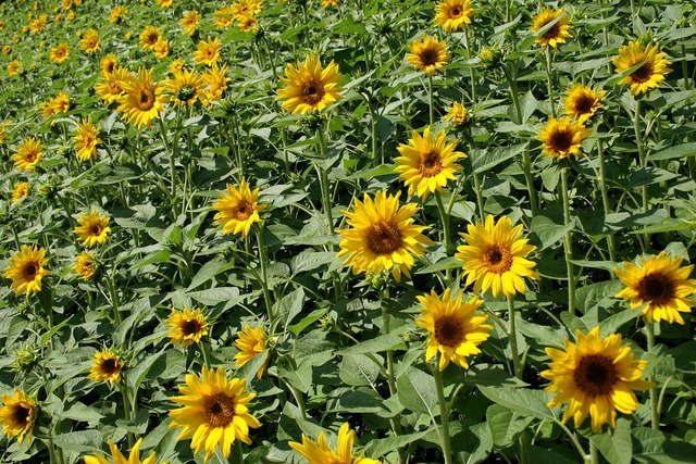 Sunflowers field summer.