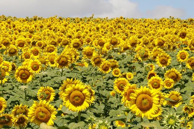 Sunflowers flowers field.